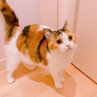 元気いっぱい☆おてんば三毛猫ガール☆