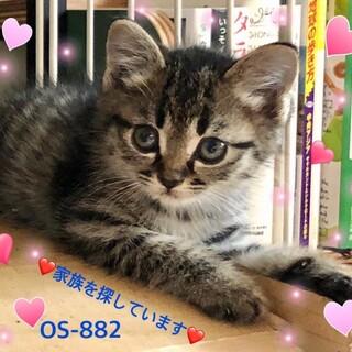 OS-882 ゴロニャン子猫ちゃん