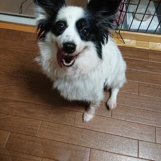 パピヨン5~6歳★ミルキーちゃん 繁殖引退犬