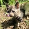 トライアル中 募集一時停止 可愛いサビ猫 ♀ サムネイル4