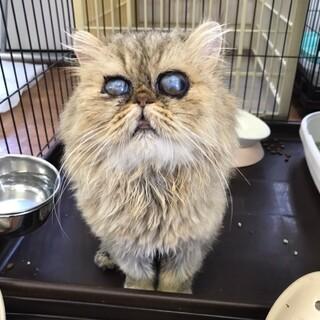 甘えん坊な男の子 ペルシャ猫 ラブ君