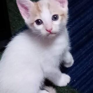 生後1ヶ月の白猫