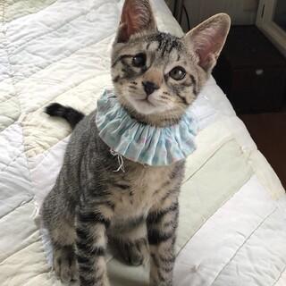 3カ月のキジトラの男の子ブルーちゃん