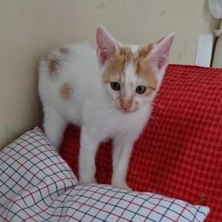 保護した1ヶ月くらいの子猫茶白オス♪ママもいます