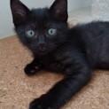 黒猫なのに、シマシマお腹の黒斗くん