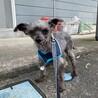 ヨーキーの甘えん坊シニア犬 サムネイル2
