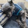 ヨーキーの甘えん坊シニア犬 サムネイル3