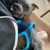 ヨーキーの甘えん坊シニア犬 サムネイル4