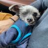 ヨーキーの甘えん坊シニア犬 サムネイル5