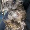 ヨーキーの甘えん坊シニア犬 サムネイル6