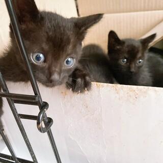 元気いっぱい黒猫姉妹生後1ヶ月半位