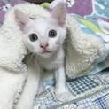 ③子猫の女の子・てんてんイエロー