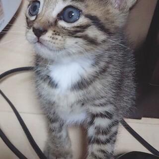 宇土姉妹キジトラ♀1ヶ月