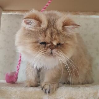 コツメカワウソみたいな ペルシャ猫 サマンサ♀