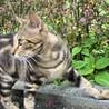 アメショに似たmix猫ちゃん