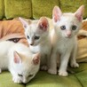 甘えん坊な青い瞳の白い妖精3兄妹