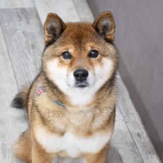 小柄な柴風ミックス犬