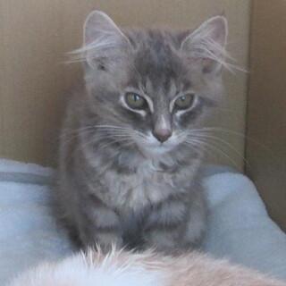 長毛フワフワのグレー・人なれているメス子猫
