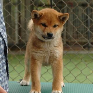 健全で性格良しな柴犬メス2歳3ヶ月