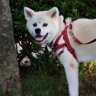 笑顔キラキラ♩秋田犬「大地-アース-」