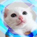 1.5ヶ月♡甘えん坊白猫♂アポロン