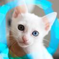 1.5ヶ月♡オッドアイ白猫♂アスラン