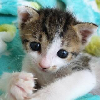 小さいよ⭐︎天使みたいな仔猫のチキちゃん