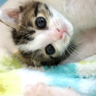 小さいよ⭐︎天使みたいな仔猫のふぁみちゃん