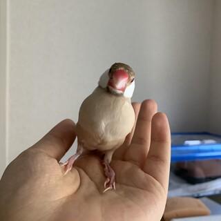 手乗りシナモン文鳥