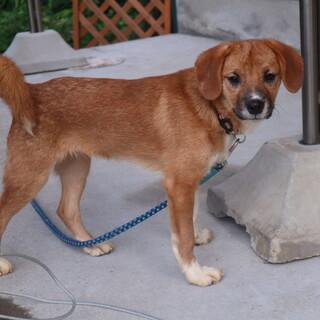 昔懐かしの雰囲気漂う昭和犬の仔犬