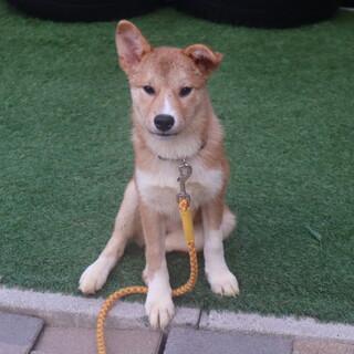 昔懐かしい雰囲気漂う昭和犬の仔犬