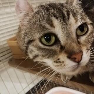 【保護猫】ニーちゃん♀アメリカンカール