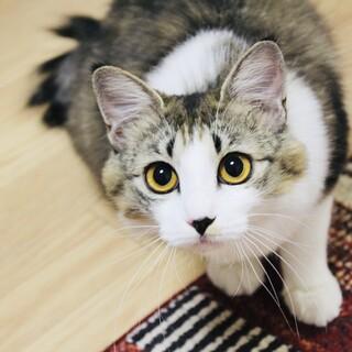 ふわふわ中毛の美形猫さん!