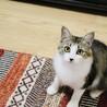 ふわふわ中毛の美形猫さん! サムネイル3