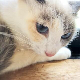 青い瞳の可愛すぎるパステル三毛ちゃん