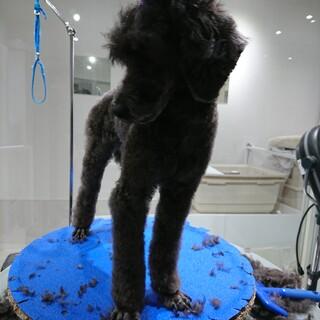 プードル♂まもるくん 4歳 3.3キロ