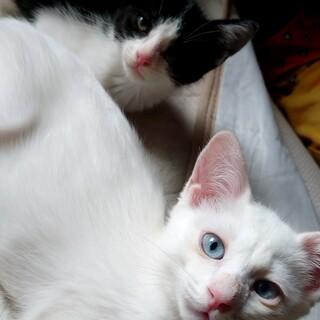 白猫ブルーアイてんちゃん(トライアル中)