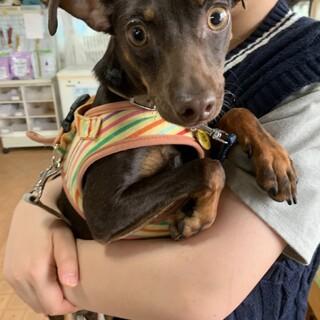 ミニチュアピンシャー  ➁ オス 約8か月  子犬