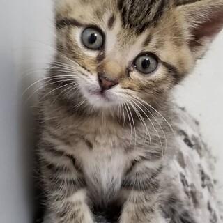 甘えん坊のキジ猫君です!