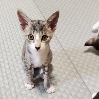 生後約2カ月☆キジシロ猫の男の子のオト君