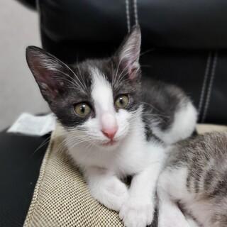 生後約2カ月☆ハチワレ猫のコトちゃん