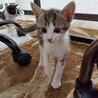 生後約2カ月☆キジシロ猫のイトちゃん
