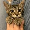トライアル決定☆推定2〜3ヶ月齢☆キジトラ子猫♀ サムネイル6