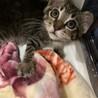 トライアル決定☆推定2〜3ヶ月齢☆キジトラ子猫♀ サムネイル7