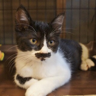 2ヶ月半の子猫の里親さんを募集します。