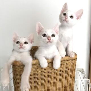 超甘えん坊な白い美猫3兄妹