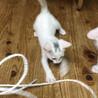 超甘えん坊な白い美猫3兄妹 サムネイル5