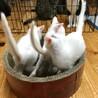 超甘えん坊な白い美猫3兄妹 サムネイル6