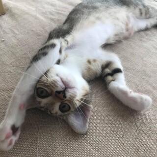 可愛いキジ猫のルカちゃん、里親大募集!