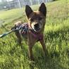 元飼い犬の【ヴィルレ】本当の飼主さんを募集中♡ サムネイル3